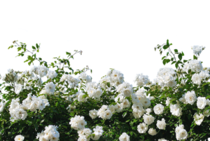 roses-2927481__340